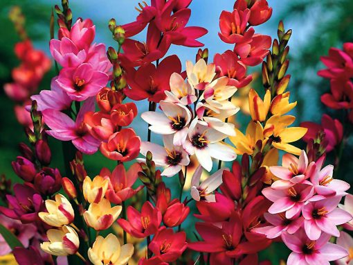 Gėlės nuotrauka. (Pavadinimas: Iksija)