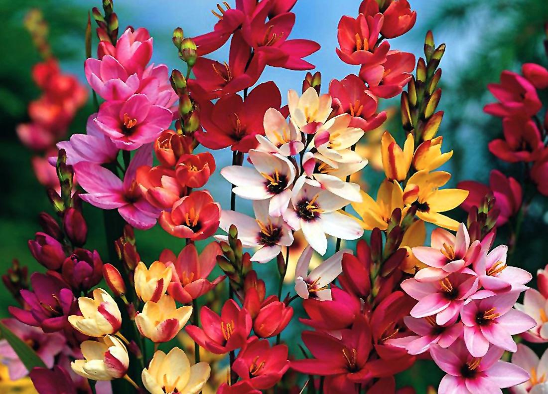 Gėlė Iksija