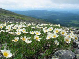 Kalnų gėlė driada