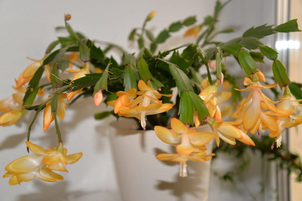 Kambarinė gėlė tikrasis plokštenis