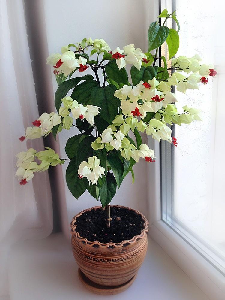 Kambarinė gėlė tomsono šventmedis