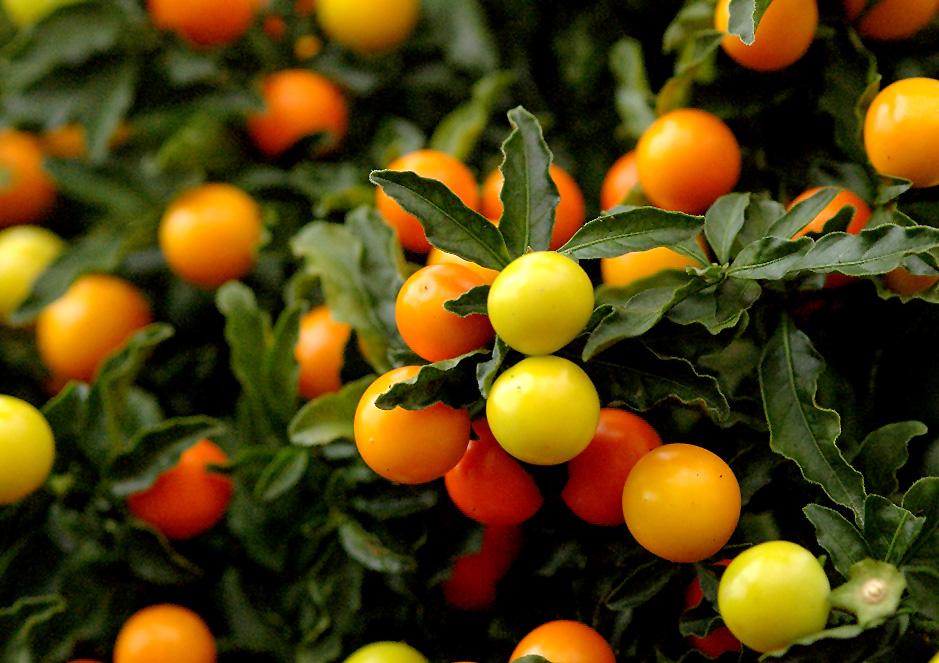 Kiauliauogės vaisiai (nuodingi, nevalgomi)