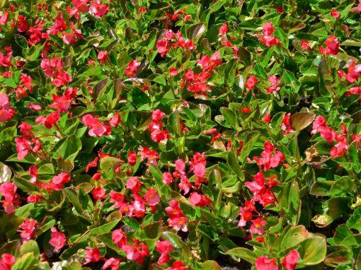 Gėlės nuotrauka. (Pavadinimas: Krūminės begonijos)