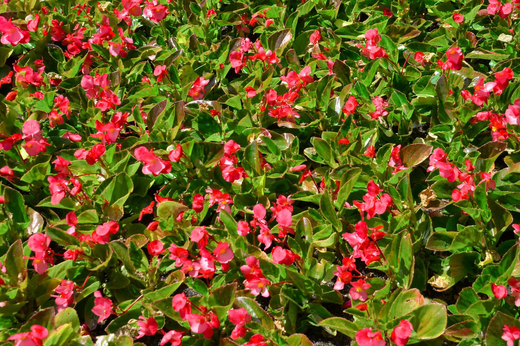 Krūminės begonijos