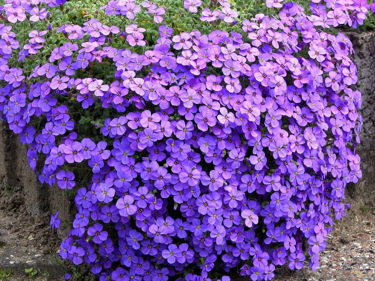 Lauko gėlė aubretė (obrieta)