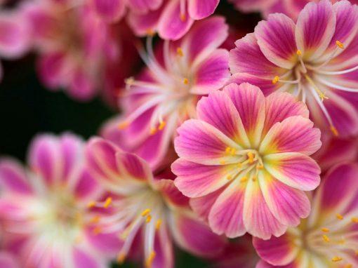 Gėlės nuotrauka. (Pavadinimas: Levisija)