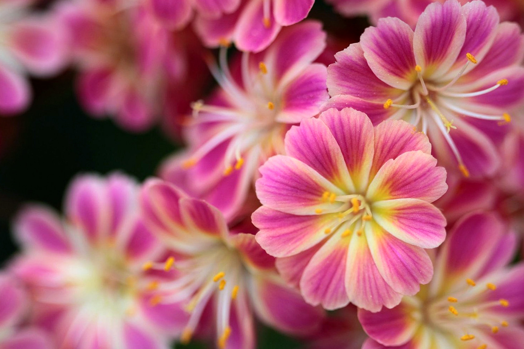 Gėlė Levisija