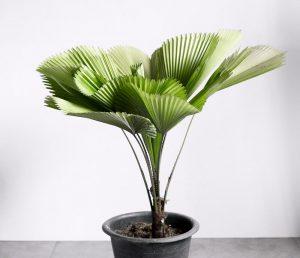 Likuala kambarinė palmė vazone