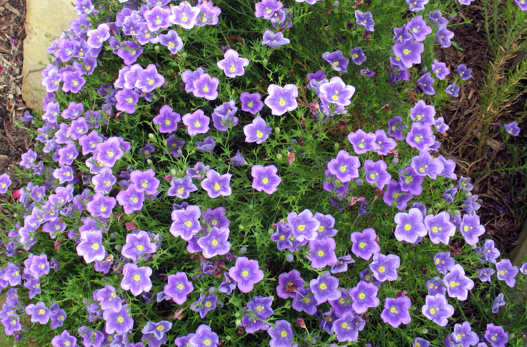 Nirenbergija (gėlė)