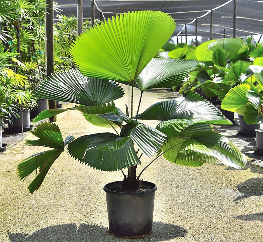 Palmė Likuala (gėlė)
