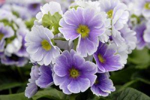 Raktažolės (Žydinčios gėlės)