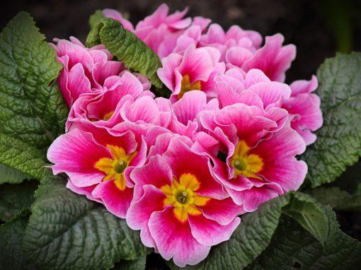 Gėlės nuotrauka. (Pavadinimas: Taurinė raktažolė)