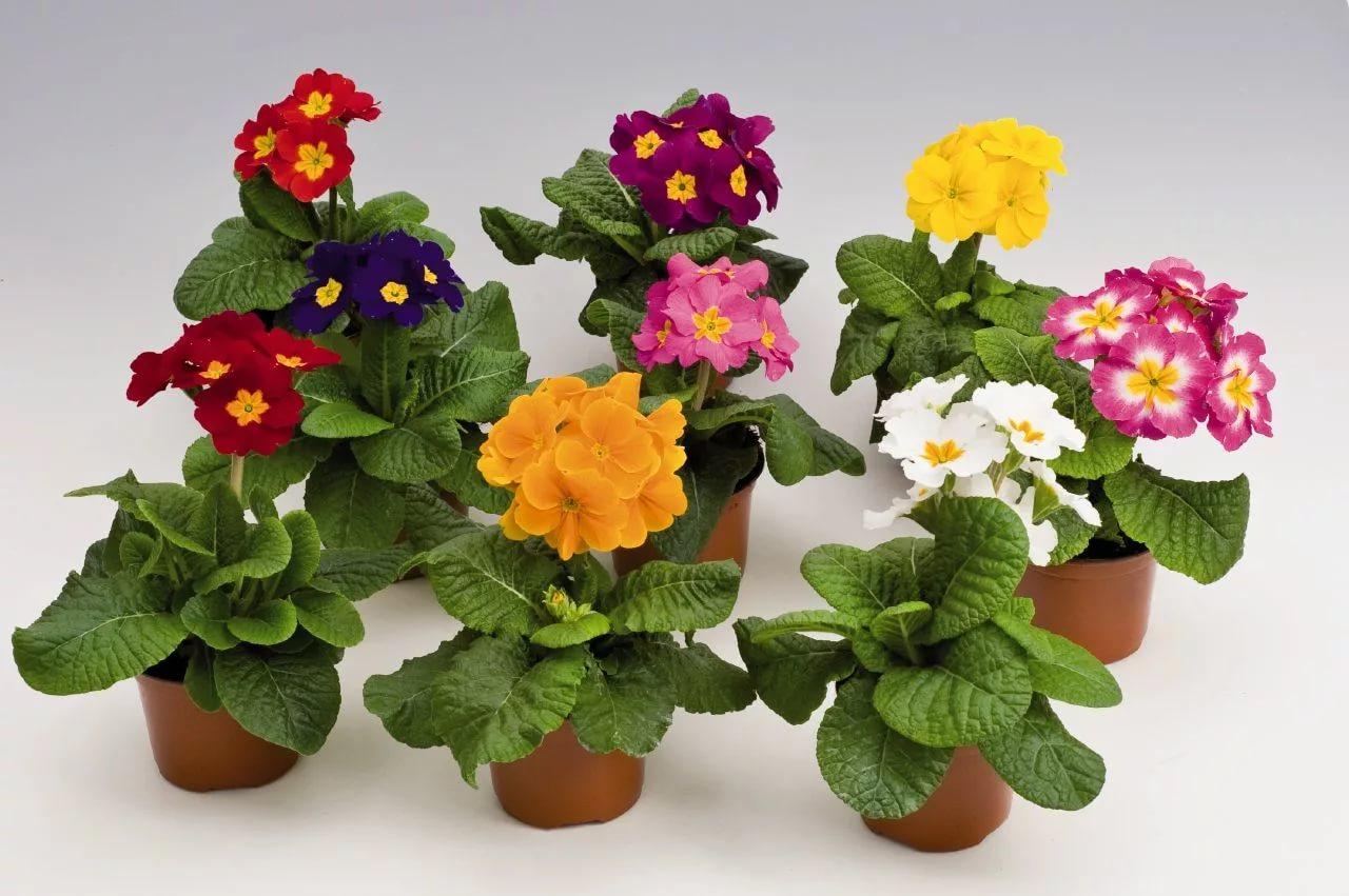 Raktažolės (vazoninės gėlės)