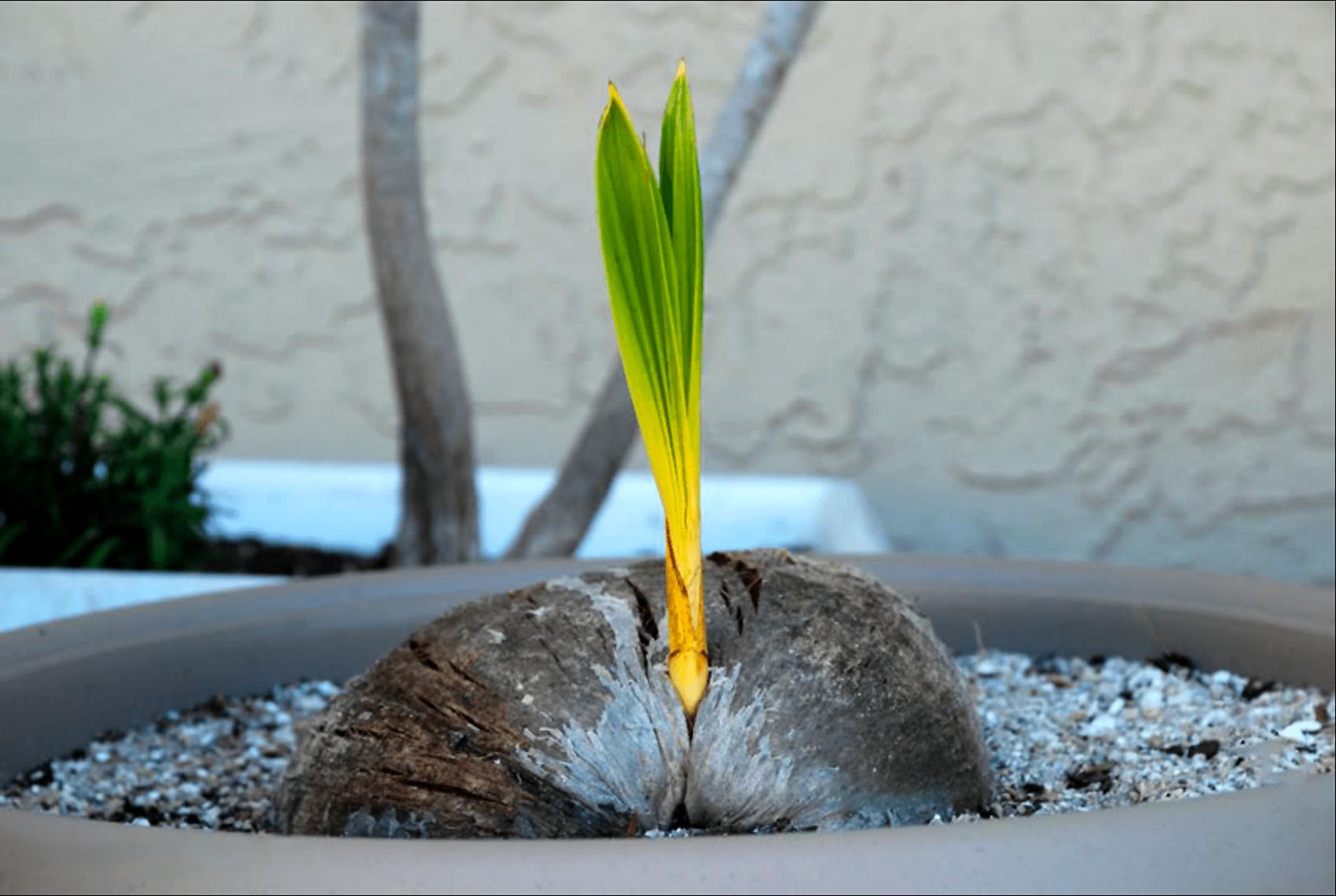Riešutinė kokospalmė