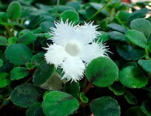 Kambarinė gėlė ritlenis (Episcia dianthiflora)