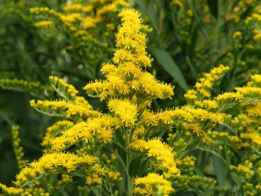 Gėlės nuotrauka. (Pavadinimas: Goldenrod)