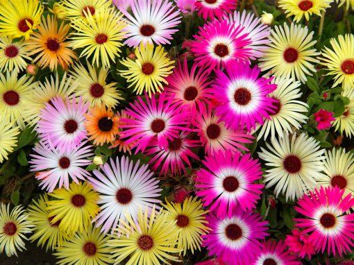Gėlės nuotrauka. (Pavadinimas: Saulutinė daratėlė)