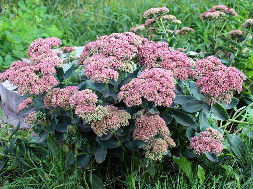 Gėlės nuotrauka. (Pavadinimas: Stonecrop)
