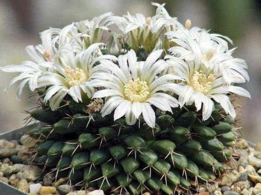 Gėlės nuotrauka. (Pavadinimas: Stenokaktusas)