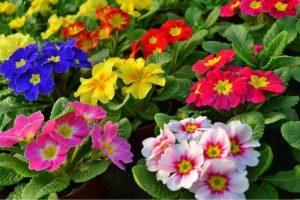 Taurinės raktažolės (Kambarinės gėlės)