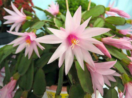 Gėlės nuotrauka. (Pavadinimas: Tikrasis plokštenis)