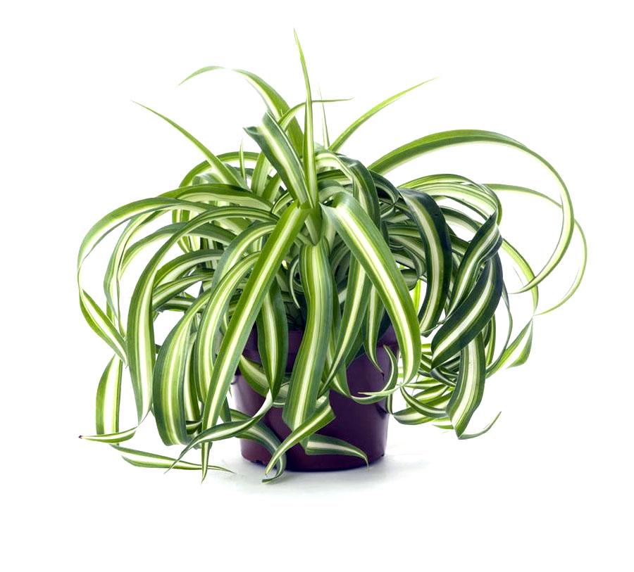 Vazoninė gėlė kuokštinis chlorofitas