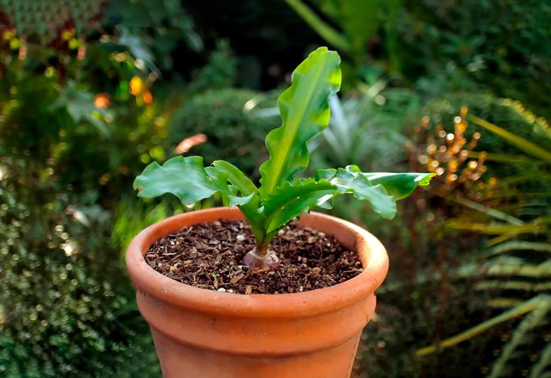 Veltheimijos svogūnėlis