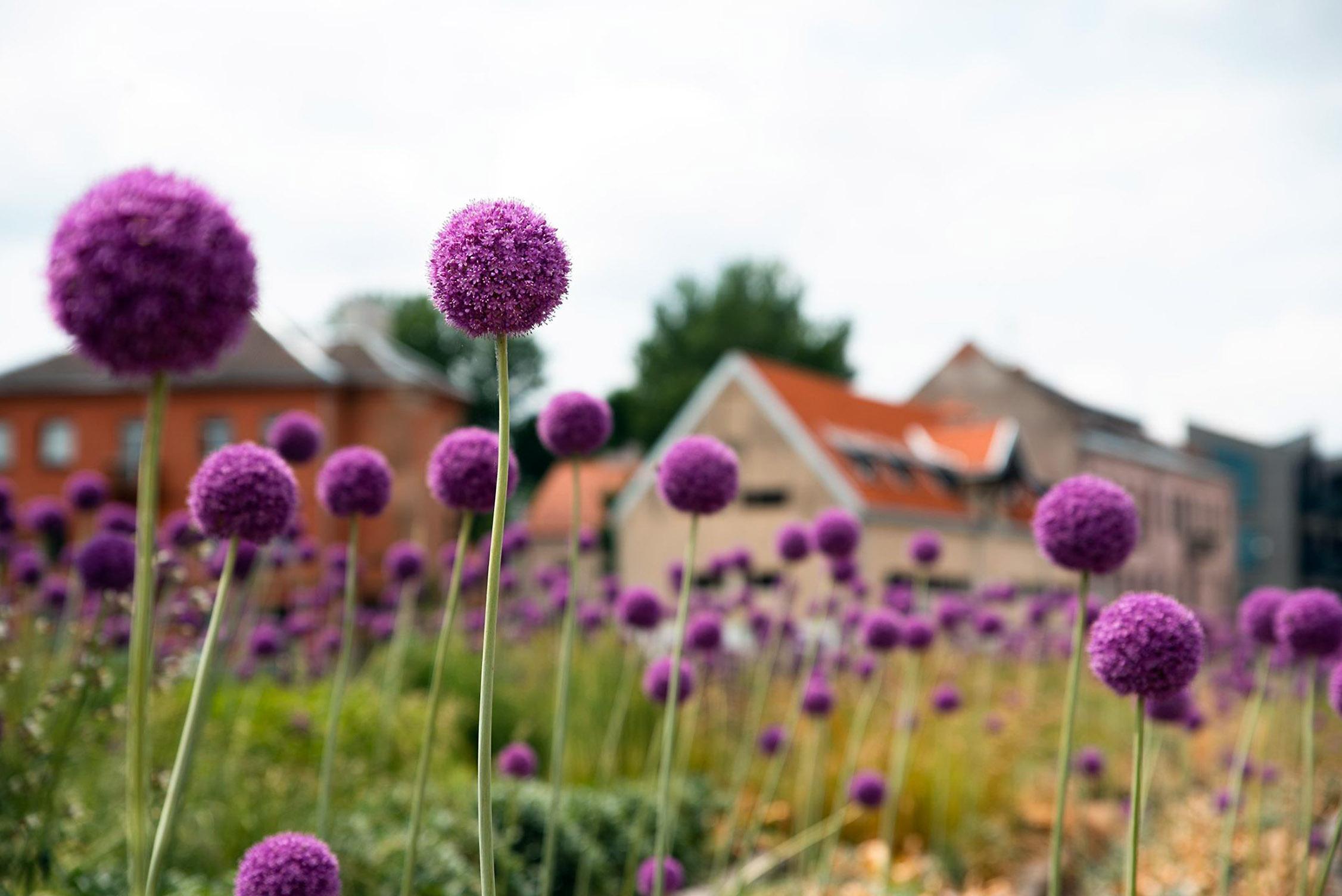 Violetiniai česnakai