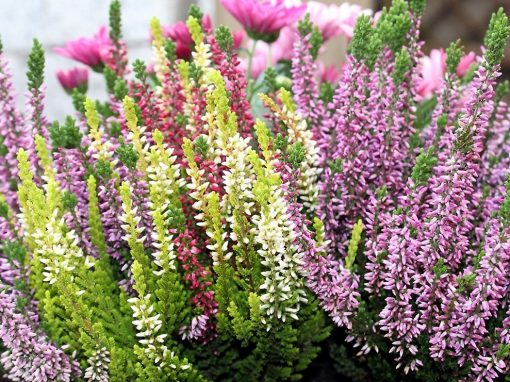 Gėlės nuotrauka. (Pavadinimas: Heather)