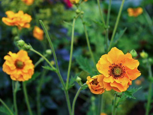 Gėlės nuotrauka. (Pavadinimas: Žiognagė)