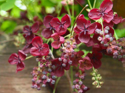 Gėlės nuotrauka. (Pavadinimas: Chocolate vine)