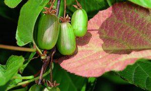 Aktinidijos vaisiai