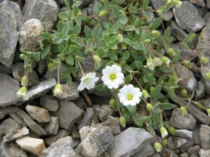 Alpinė Glažutė (cerastium alpinum)