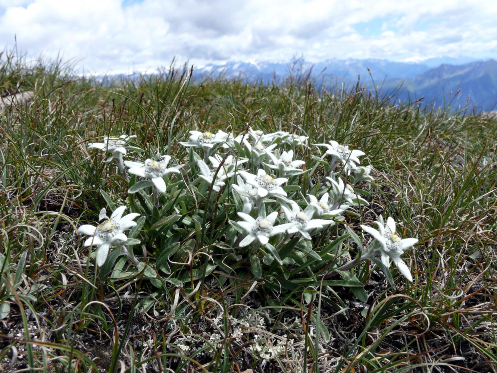Alpinės Liūtpėdės