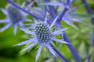 Alpinė zunda (gėlė)