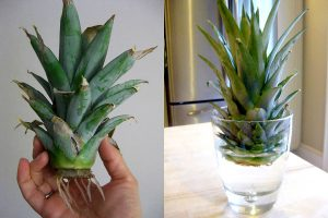 Ananasas leidžia šaknis (kaip pasodinti ananasą)
