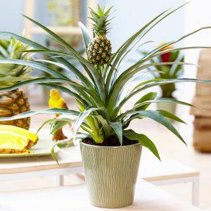 Ananasas vazone