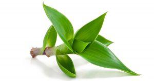 Augalas kalizija (Auksinis ūsas)
