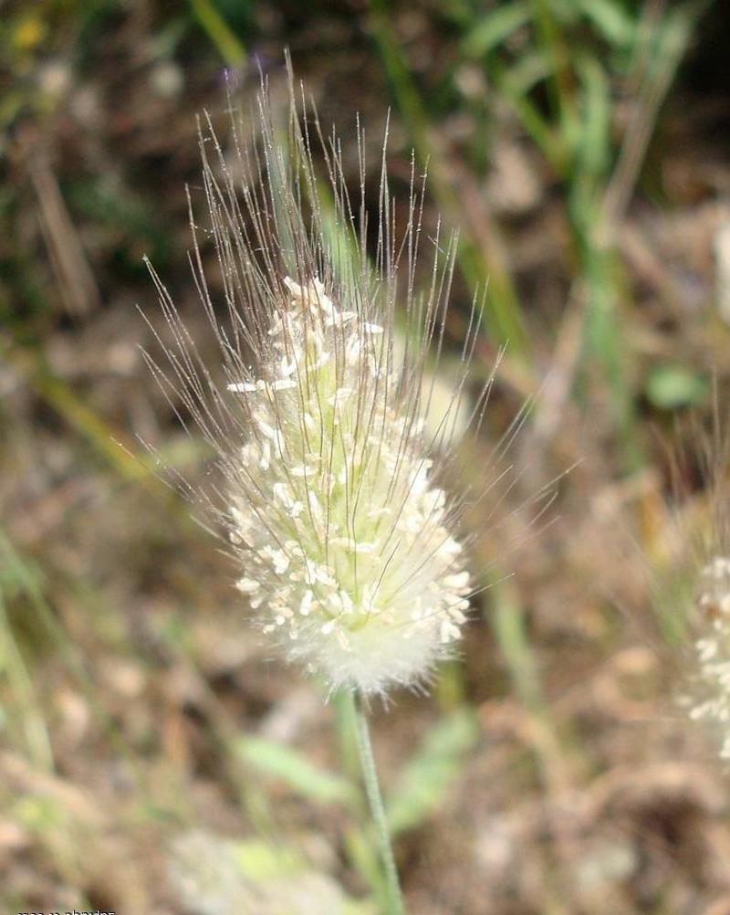 Augalas kiškio uodegėlė