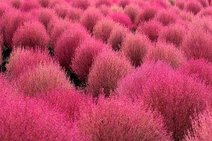 Augalas kochija keičia spalvą