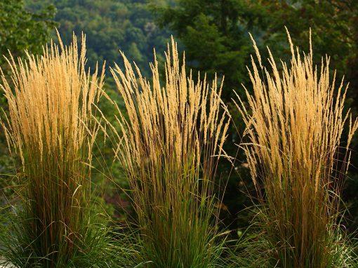 Gėlės nuotrauka. (Pavadinimas: Feather reed grass)