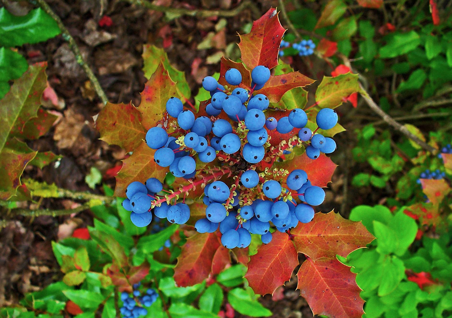Augalas Mahonija (mėlynos uogos)