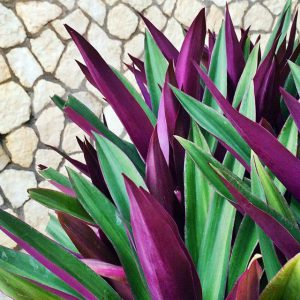 Augalas Rėjus (Rhoeo dicolor)