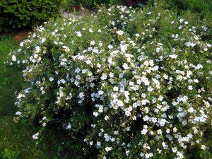 Augalas Sidabrakrūmis (sidabražolė)