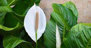 Augalas Spatifilis (Gėlė Vėzdūnė)