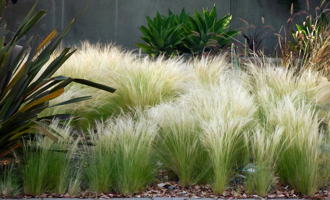 Ašuotė (Dėkoratyvi žolė)