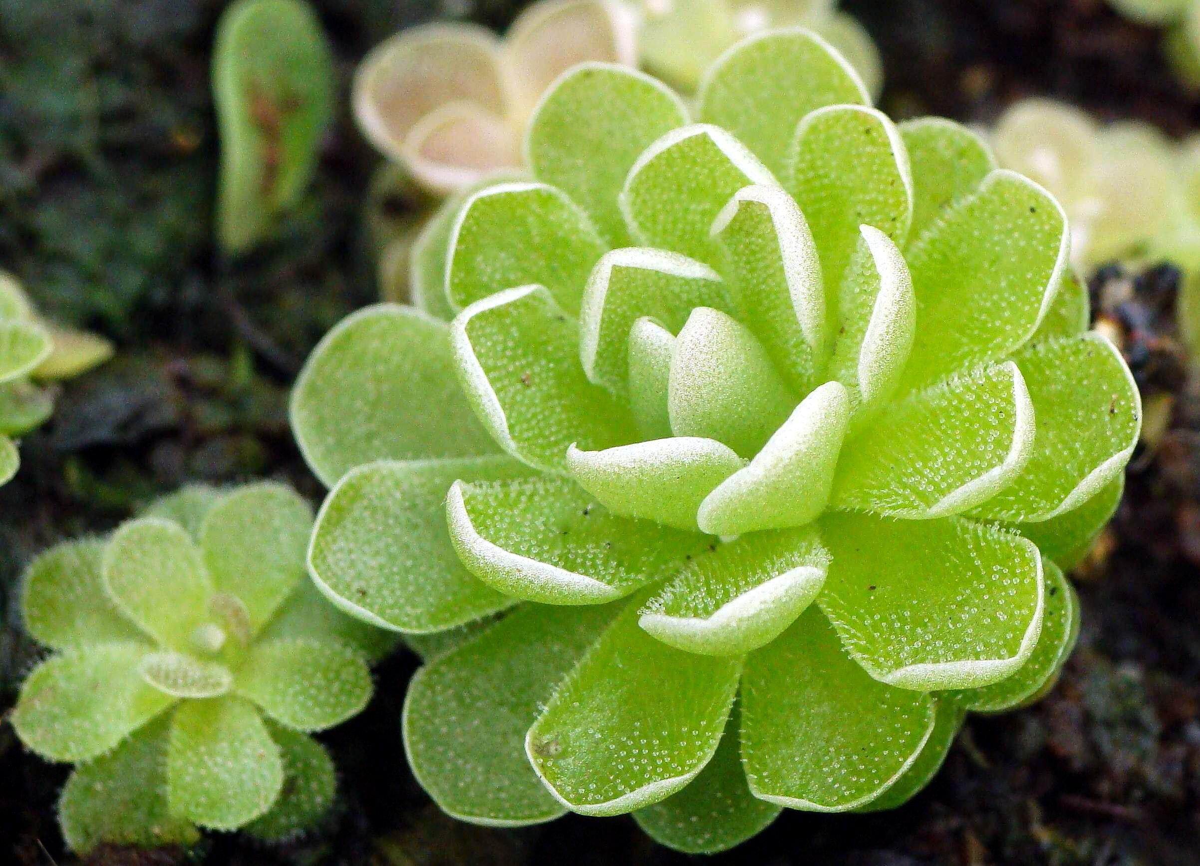 Gėlė Tuklė