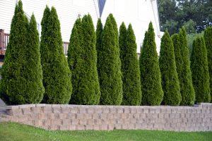 Aukštos tujos (dekoratyviniai medžiai - gyvatvorės)