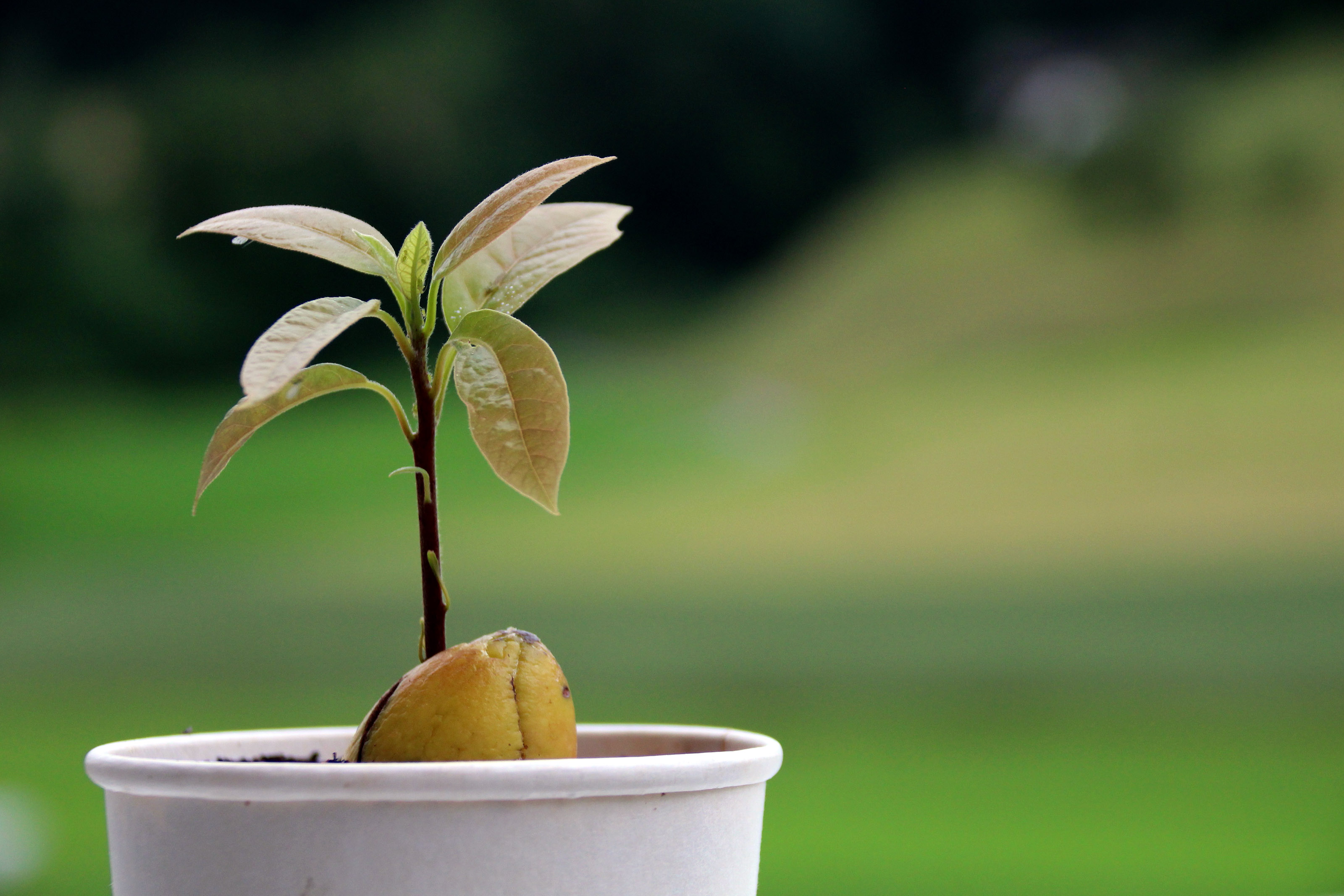 Avokado Medis (Persėja)