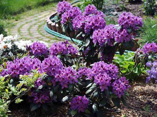 Gėlės nuotrauka. (Pavadinimas: Azalea)